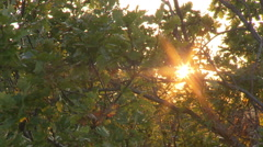 Sun backlight with flares shot trough a tree with gentle wind Stock Footage