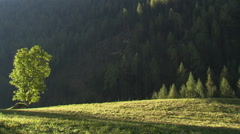 A single tree in bright evening sunlight with mountainous forest in the back Stock Footage