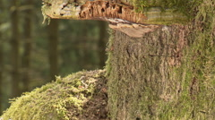 Ant trail on giant tree Close up Stock Footage