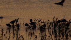 Plegadis falcinellus, glossy ibis - stock footage