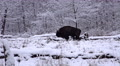 4k European Bison in white snow winter landscape Footage