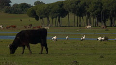 cow in the meadow - stock footage