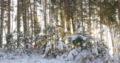 Tall pine trees in the winter forest with sun rays 4k Stock Footage
