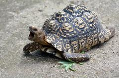 Leopard tortoise large and attractively marked tortoise Stock Photos
