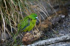 Antipodes Island parakeet Stock Photos
