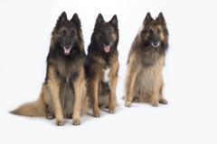 Three dogs, Belgian Shepherd Tervuren, isolated Stock Photos
