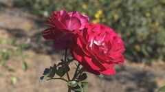 Two red roses on a nodding stem - stock footage