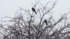 Two robins perched in bare branches as sleety drops fall Stock Footage