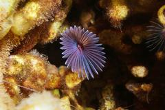 Variegated feather duster worm Bispira variegata - stock photo