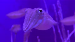 Curious cuttlefish looks into the camera Stock Footage