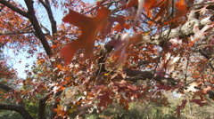 Swaying red leaves on a tall spreading oak tree Stock Footage