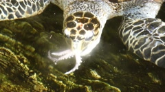 Sea turtle snaps an octopus, swallows it, then burps Stock Footage