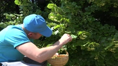 Man with blue shirt pick fresh linden blossom green park summer . 4K Stock Footage