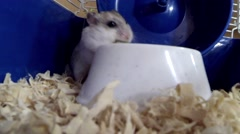 Stock Video Footage of Hamster Eating