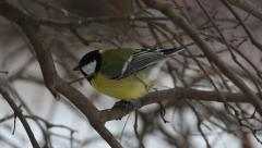 Great tit (Parus major) pecks seed while sitting on a branch Stock Footage