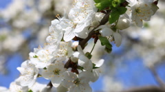 Apple flowers in bloom close up Stock Footage