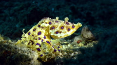 Blue Ringed Octopus walking while showing blue rings Stock Footage