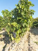 View of a wineyard in la rioja, Spain Stock Photos