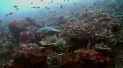 Grey reef shark swims in search of food. Stock Footage