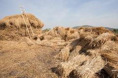dry rice straw after farmer harvesting season stock for cattle feeding field  - stock photo