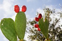 Prickly pear in Apulia (Italy) Stock Photos