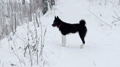 Russo-European Laika in winter forest. Stock Footage