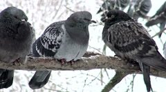 Pigeons sitting on a snowy branch in winter.  Stock Footage