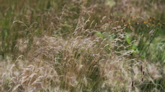 Dry grass in the wind close-up Stock Footage
