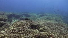 Large field of corals in coastal part of blue sea. Stock Footage