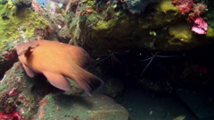 Boxer Cleaner Shrimp family on the reef Underwater Stock Footage