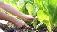 organic pesticide free salad vegetable picked and cut from the garden farm - stock footage