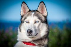 Husky dog closeup with blue eyes - stock photo