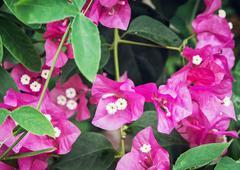Bougainvillea purple flowers, gardening theme Stock Photos