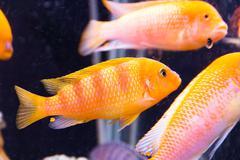Aulonocara fish - stock photo
