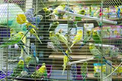 Wavy parrots in the hutch - stock photo