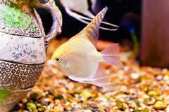 Aquarium fish scalare Stock Photos