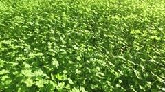 Walking on Green Clover Field Stock Footage