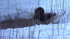 Ultra hd 4k, real time, a family bears dig their winter lair Stock Footage