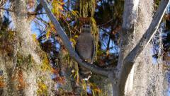 Red-shouldered Hawk (Buteo lineatus) Stock Footage