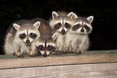 Four cute baby raccoons on a deck railing Stock Photos