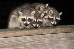Four cute baby raccoons on a deck railing - stock photo