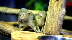 Small monkey closeup Stock Footage