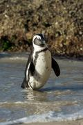 African penguin on the beach - stock photo