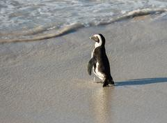 Stock Photo of African penguin on the beach
