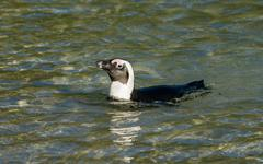 African penguin swimming in shallow water - stock photo