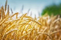Yellow grain field - stock photo