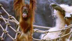 Small orangutan  on a rope Stock Footage