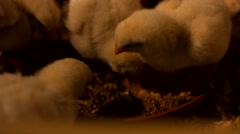 Small chickens in the hatchery Stock Footage