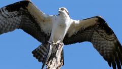 Osprey (Pandion haliaetus) Stock Footage
