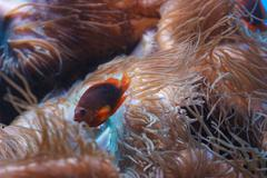 Red Saddleback Anemonefish Stock Photos